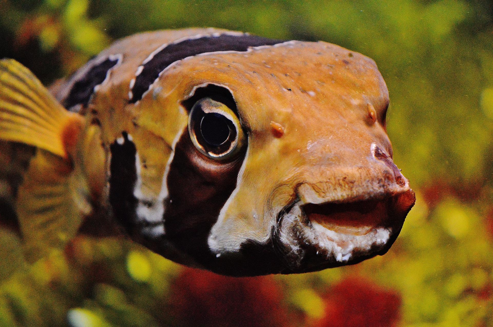 En orange-svart randig fisk i ett akvarium