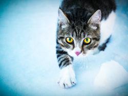 En vit-och qråspräcklig katt med intensivt gula ögon kommer tassande i snön.