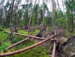 Fallna tallar i en skog